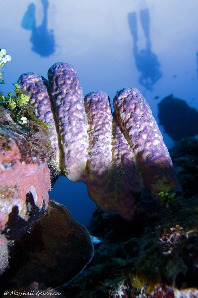 Blue Sponges on Bayman Wall