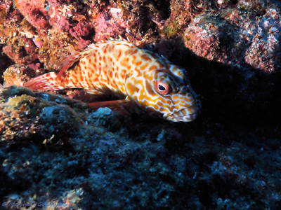 Stocky Hawkfish. He looks unhappy!
