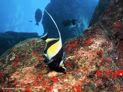 Moorish Idol picking at the rocks