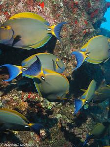 Kauai-2015-Eyestripe Surgeonfish-5-P1010299