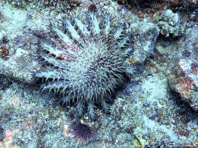 This Crown of Thorns is beautiful but damaging to the reef system.  Urchin friend next to him.