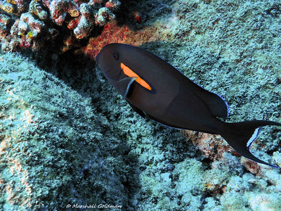 Kauai-2015-Orangeband Surgeonfish-1-P1010311