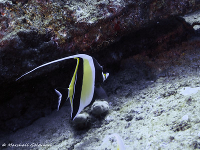 Kauai-2015-Moorish Idol-3-P1010286
