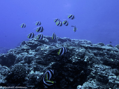 Looks a little like moorish idols - but this is a school of Pennant Butterflyfish