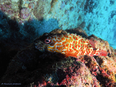 This Hawaiian fish is a Stocky Hawkfish