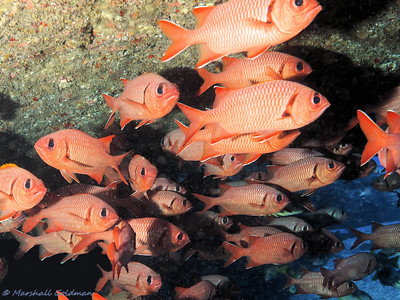 Bigscale Soldierfish Huddle Under Ledge