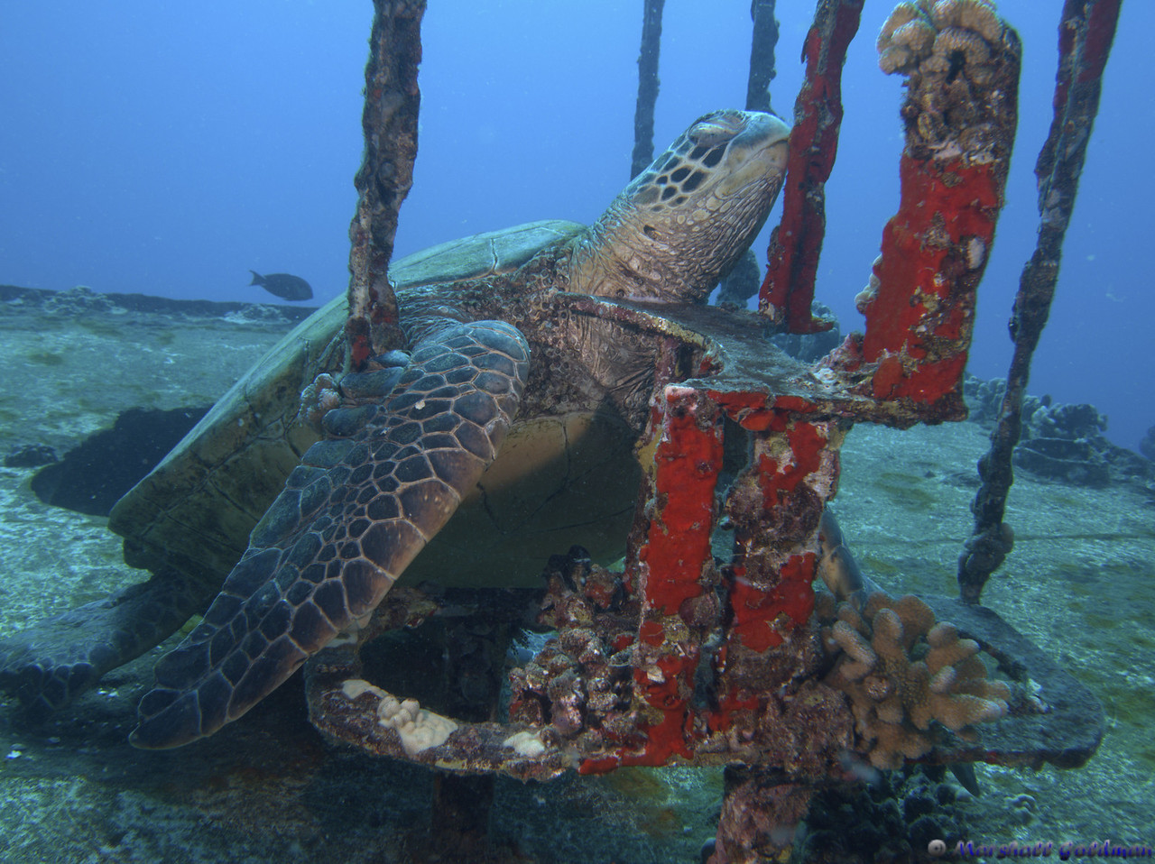 Sleeping Turtle at St Anthony's Wreck
