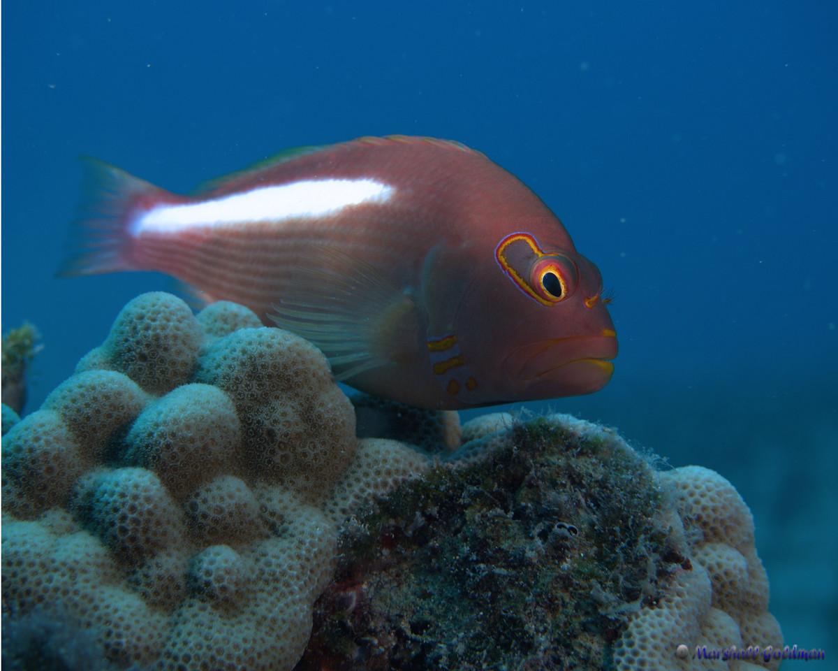 Ar-Eye Hawkfish on his Perch, Maui