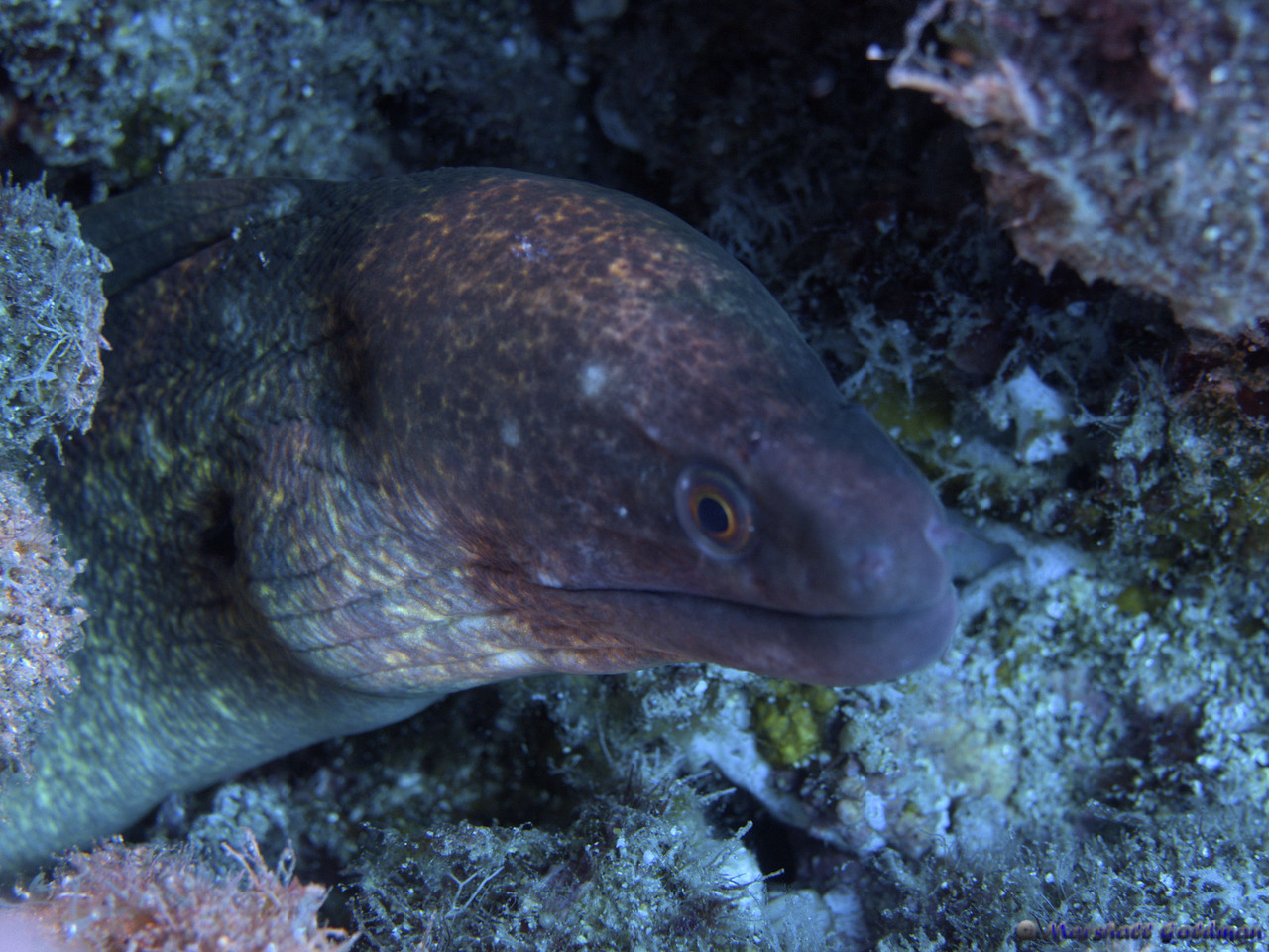 This yellowmargin moray shared his hole with a whitemouth moray - the first time that I have seen two morays 'living' with each other...