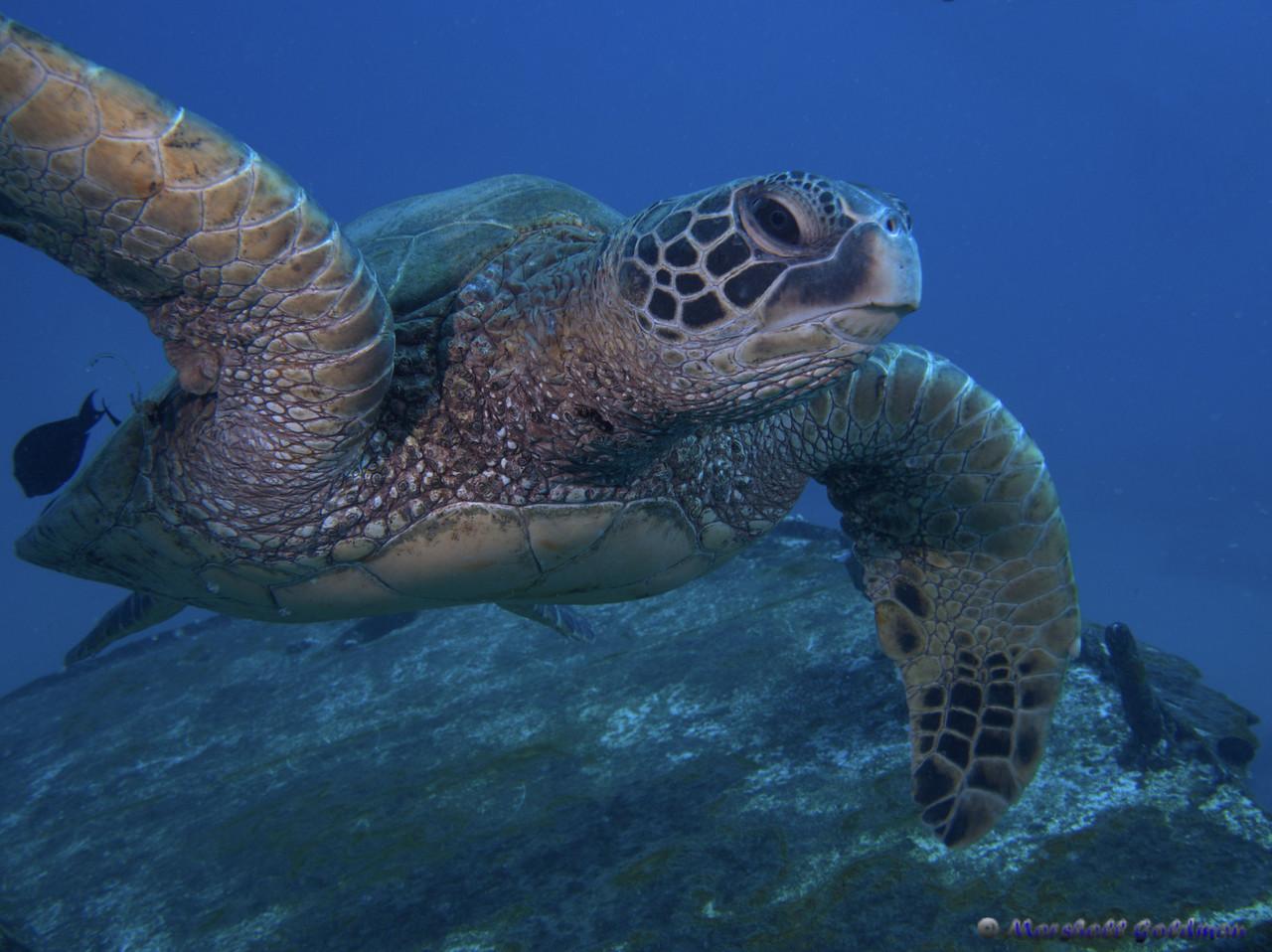 Hawaiian Green Turtle on St Anthonys Wreck II