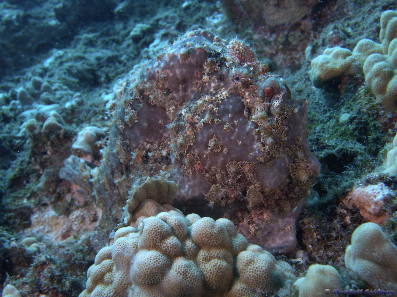 """Commerson's Frogfish - the """"Largest"""" II.  Even known as a fish hugger .... this is the ugliest, most wart covered 'beauty' I have ever seen under water.  can you find it's eyes and mouth?"""