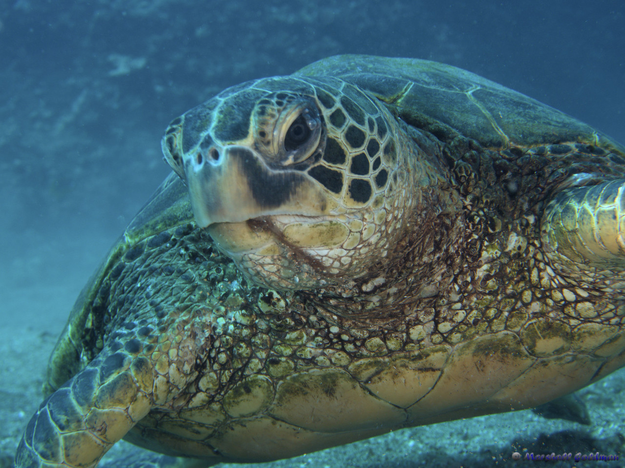 Hawaiian Green Turtle near Red Rock 3