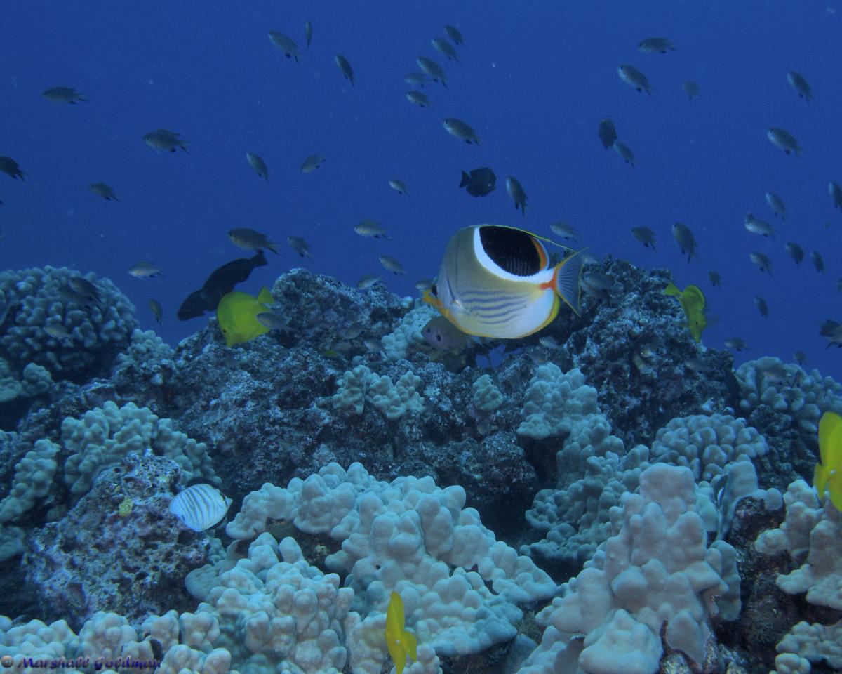 Saddleback Butterfly on Plentiful Reef Lanai