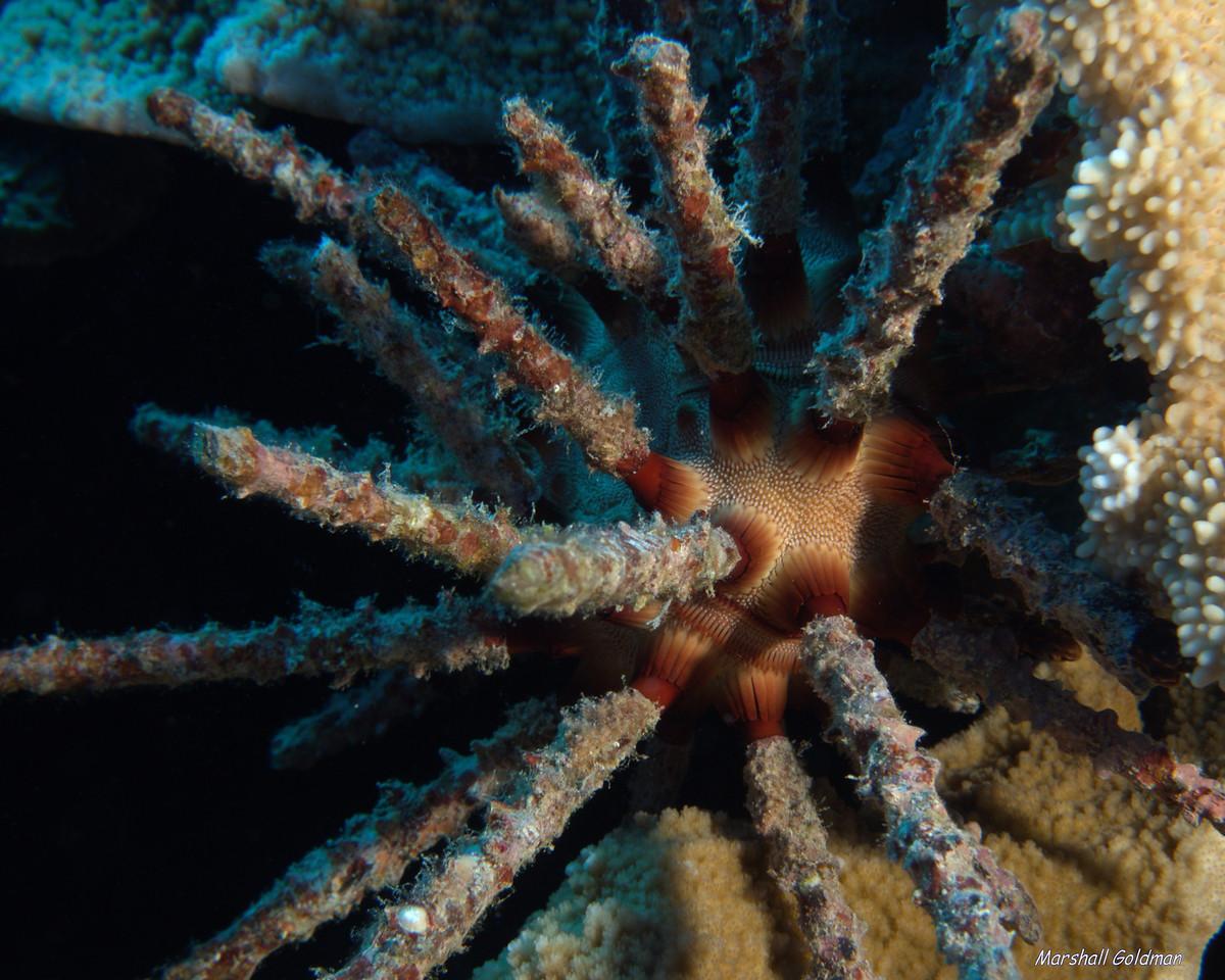Slate Pencil Urchin at Molokini