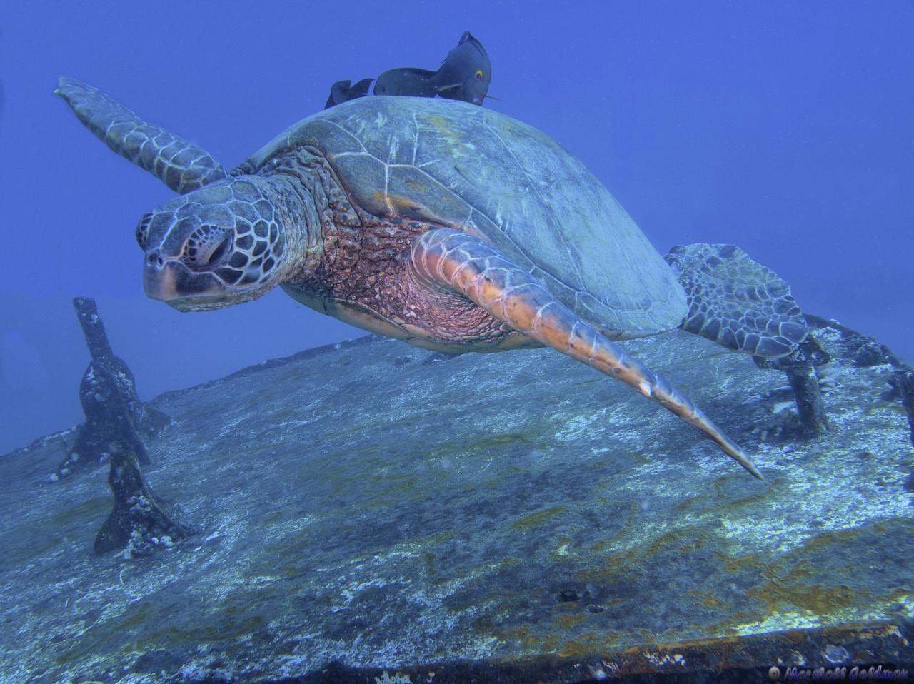 Hawaiian Green Turtle on St Anthonys Wreck III
