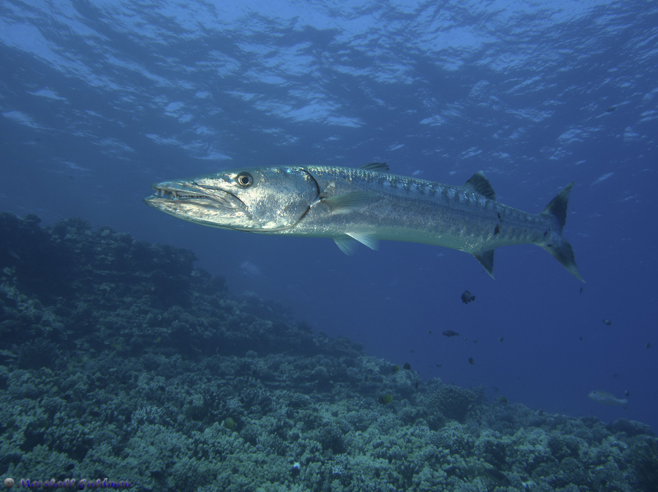 Beauty of a Great Barracuda - Molokini Island