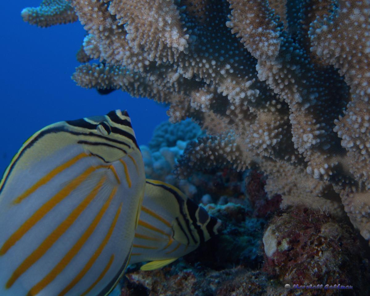 Ornate Butterflyfish at Molokini
