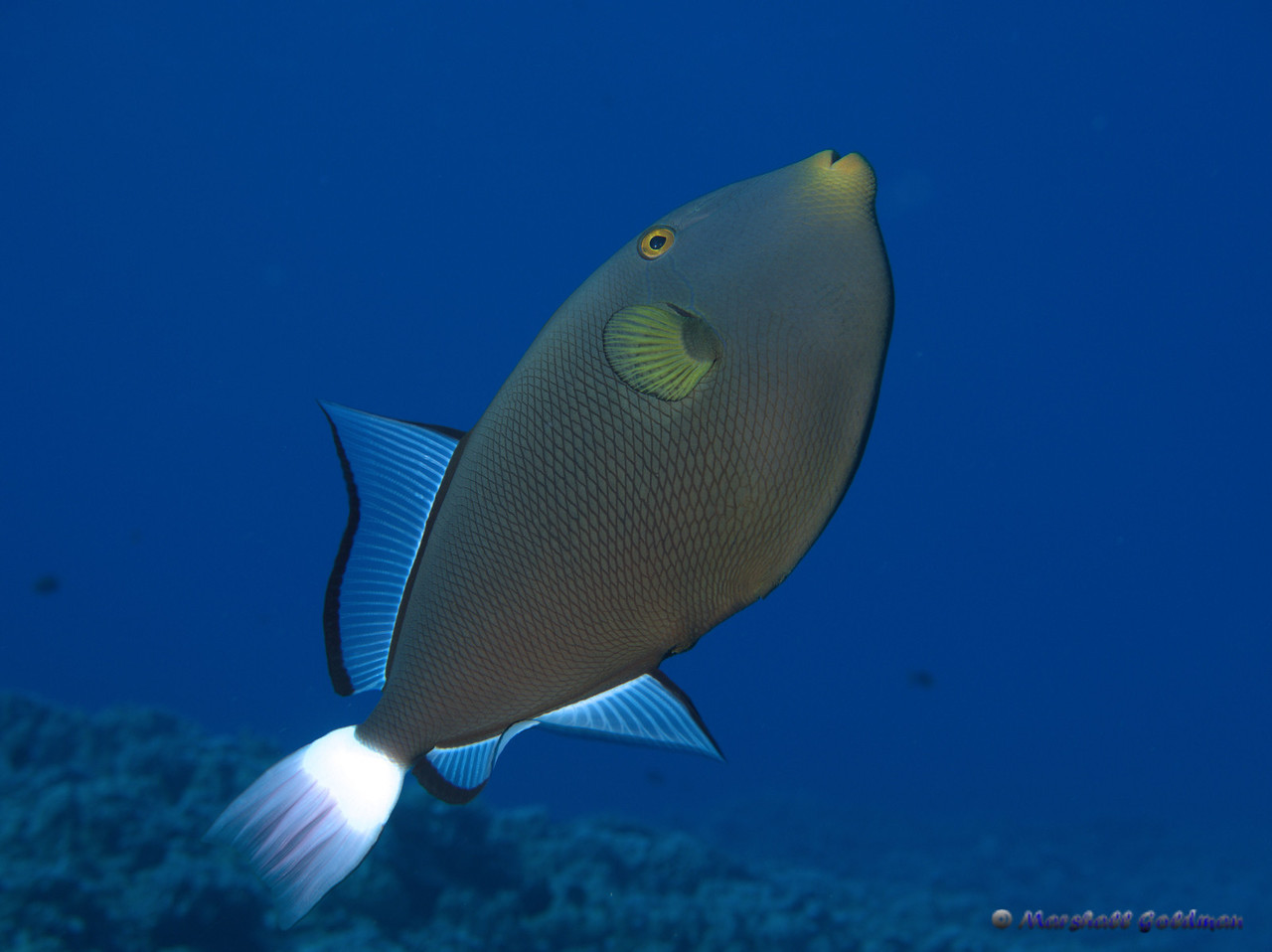 Pinktail Triggerfish at Molokini Island. This skittish critter tried over and over to impress me --- and he certainly did succeed...