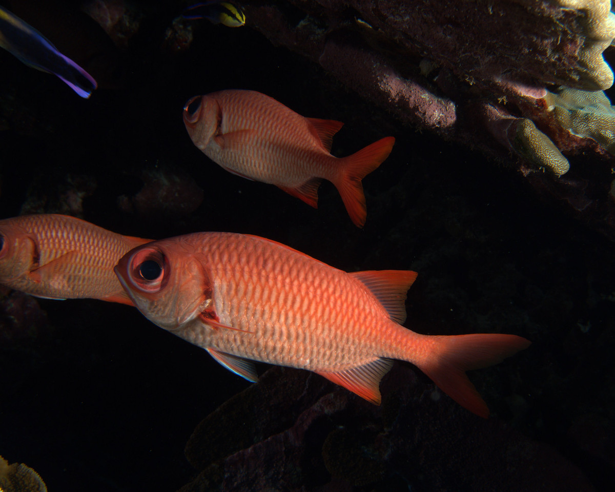 Brick Soldierfish in Cave-Maui