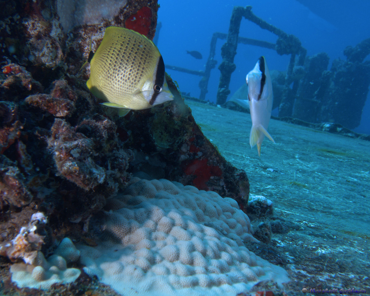 Milletseed Butterflyfish on the St Anthony's Wreck