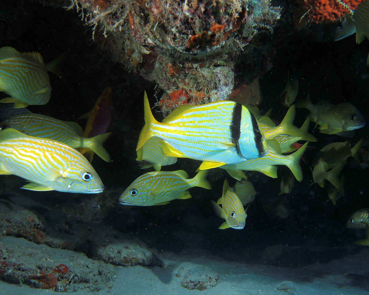 Porkfish and French Grunts, West Palm Beach