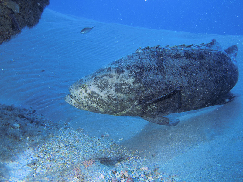 Large Goliath Grouper in the sand off of the Amarillis, West Palm Beach
