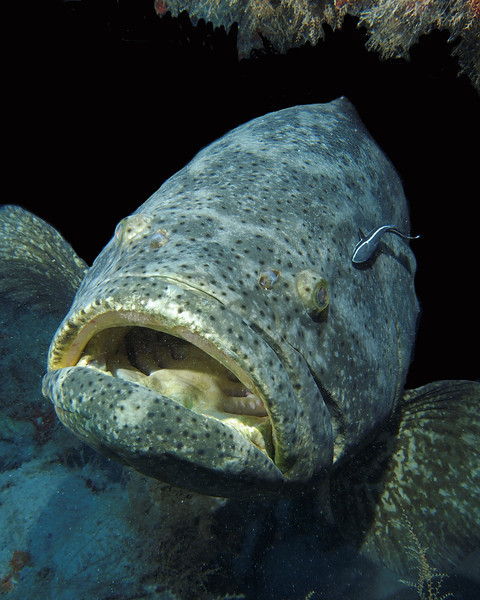 "Large Goliath Grouper inside the Mispah, West Palm Beach. Notice the remora (variety-""Sharksucker') on the right side..."