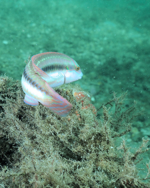 Slippery Dick Wrasse, Blue Heron Bridge