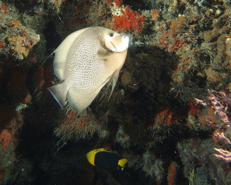 Gray Angel, West Palm Beach. The fish on the lower margin of the photo is a Rock Beauty.