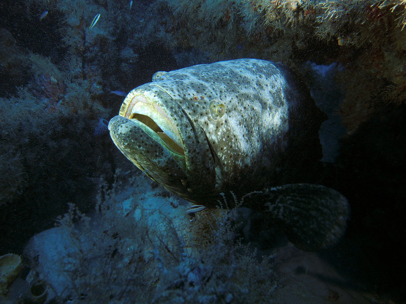 Massive Goliath Grouper on the Mispah. Notice the sharksucker 'remora' on the bottom having a feed on him!