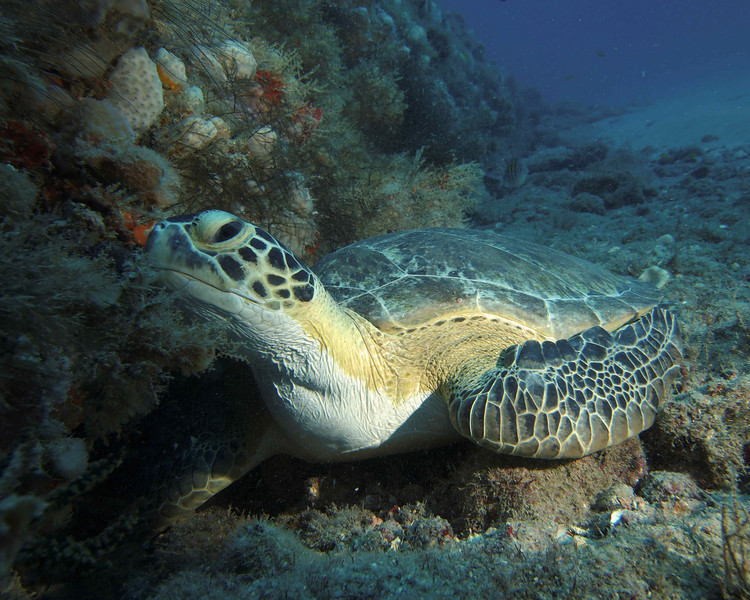 Curious Green Turtle on the reef just off of the Amarillis, West Palm Beach