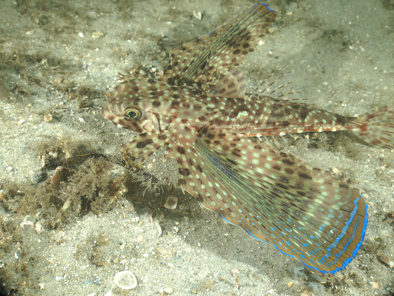 Flying Gurnard at the Blue Heron Bridge