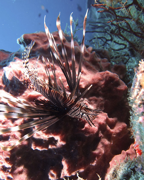 Lionfish on the reef - West Palm Beach. Where is a speargun when you need one?