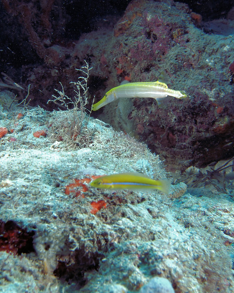 A yellow colored Trumpetfish on the Horseshoe Reef, West Palm Beach. The small yellow fish in the foreground is a juvenile Yellowhead Wrasse.