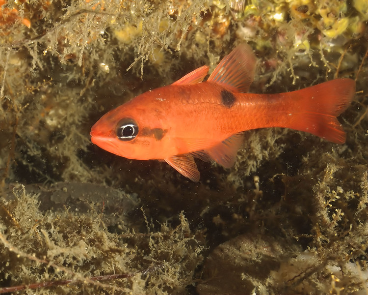 Flame Cardinalfish at the Blue Heron Bridge