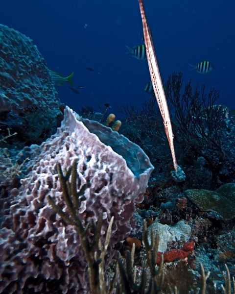 Trumpetfish, Palm Beach. Sergeant Majors swim in the background