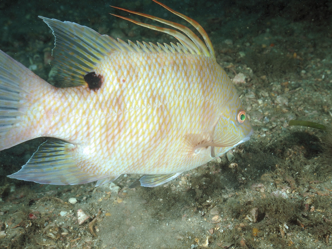 Hogfish at the Blue Heron Bridge