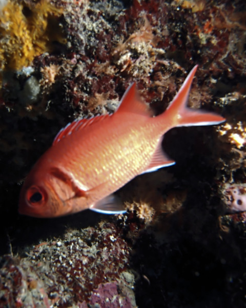 Blackbar Soldierfish, West Palm Beach