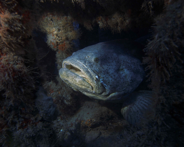 Magnificent Goliath Grouper inside the Mispah, West Palm Beach
