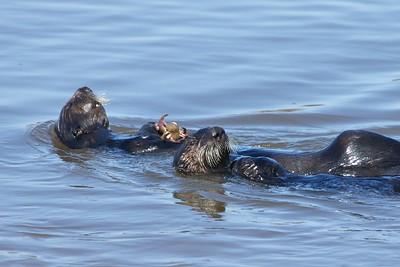 Sea Otters Elkhorn Slough, Moss Landing, CA.