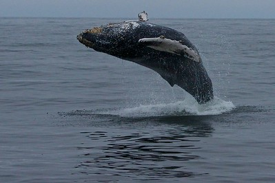 Humpback Whale Monterey Bay