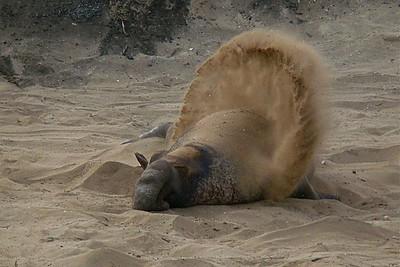 Elephant Seal, Ano Nuevo