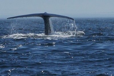 Blue Whales, Monterey Bay
