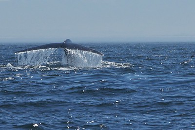 Blue Whales, Monterey Bay