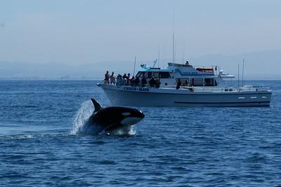 Orca (Killer Whale) Monterey Bay