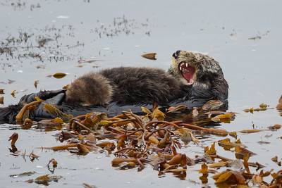 Otter with pup Point Lobos