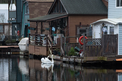 Swans At Your Doorstep - Maple Bay Marina, Cowichan Valley, Vancouver Island, British Columbia, Canada