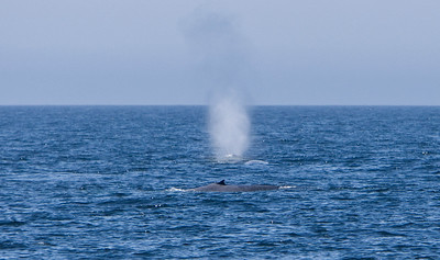 Blue whale spout in the Channel Islands National Marine Sanctuary, Santa Barbara Channel