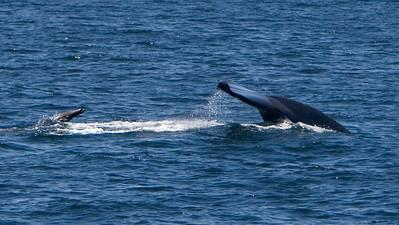 Blue whale with California sea lion