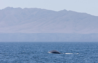 Blue whale in the Channel Islands National Marine Sanctuary, Santa Barbara Channel near Santa Cruz Island